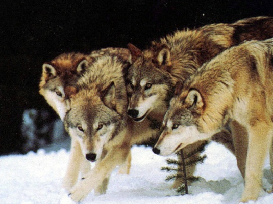 WOLVES IN A PACT