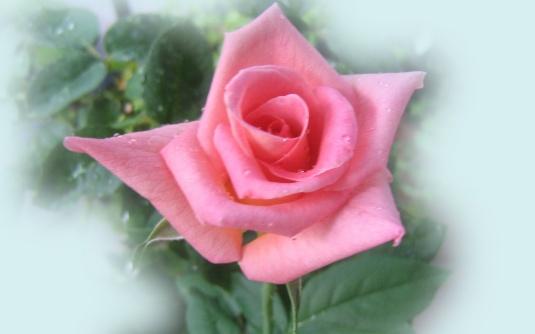 ROSES CHEEKS :D